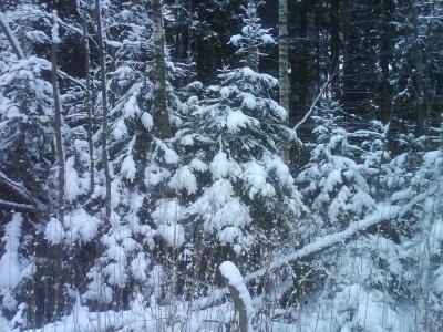 Деревья в снегу.JPG (420 kb)