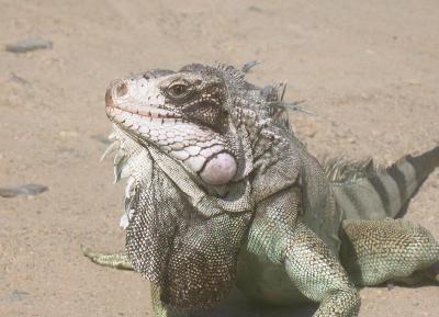 iguana1 (271 kb)