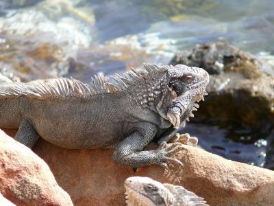 iguana2 (383 kb)
