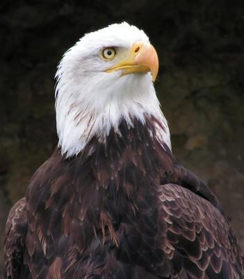 орел (33 kb)