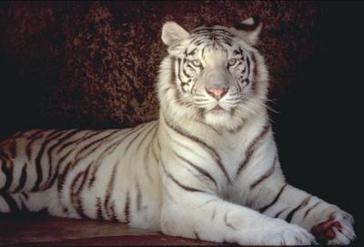Тигра (84 kb)