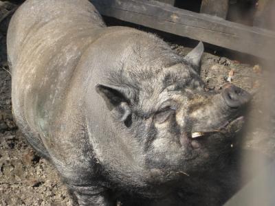 свинья (4425 kb)